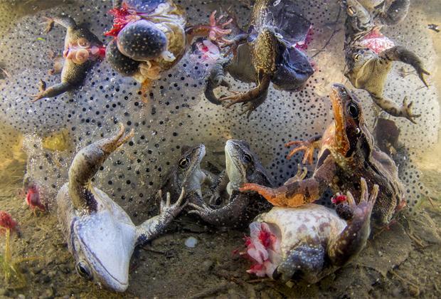 Лягушкам отрубили лапки на продажу и выбросили их останки обратно к детенышам, где их выловили. Некоторым лягушкам отрывают лапы, пока они еще живы, и они пытаются выбраться на поверхность. Снимок сделан в Румынии и номинирован в категории «Природа».