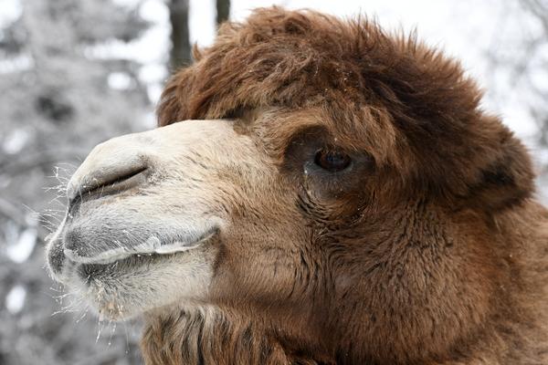 Верховный шаман России открестился от сатанинского жертвоприношения верблюдов