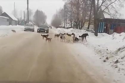 Россиянин задавил бездомных собак ради борьбы с ними