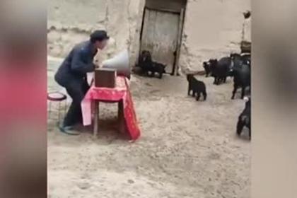 Фермер устроил заседание с козами