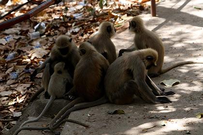 Дикие обезьяны убили двух человек