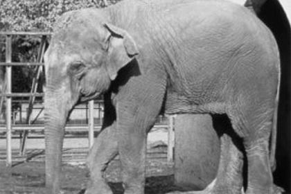 «Самая грустная» слониха умерла после 43 лет в одиночестве