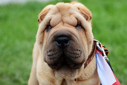МВД России записало шарпея в собаки-убийцы
