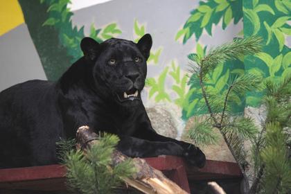 Ягуар в зоопарке напал на любительницу селфи