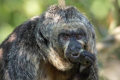 Аномально мускулистую обезьяну сняли на камеру