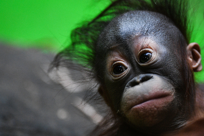Россиянина задержали за контрабанду орангутана с Бали