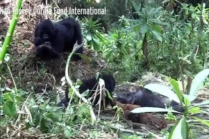 Скорбящего над телом матери детеныша гориллы сняли на видео