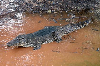 Громкая музыка убила редкого крокодила