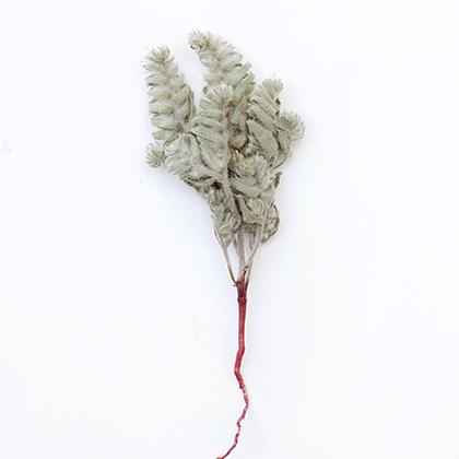 Растение, которые местные племена называют «хаммора», используется для создания губной помады в домашних условиях. Бедуинки используют кустарную косметику, хотя на публике могут появляться только с полностью закрытым лицом, оставляя лишь узкую полоску для глаз.