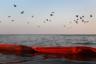 Коричневые пеликаны летят домой — на остров в бухте Баратария, штат Луизиана. Пеликаны живут там вместе с цаплями и розовыми колпицами. Из-за разлива нефти в Мексиканском заливе в 2010 году пернатые сильно пострадали. Испачканных в нефти обитателей острова отмывали в центре спасения дикой природы, однако спасти удалось не всех.