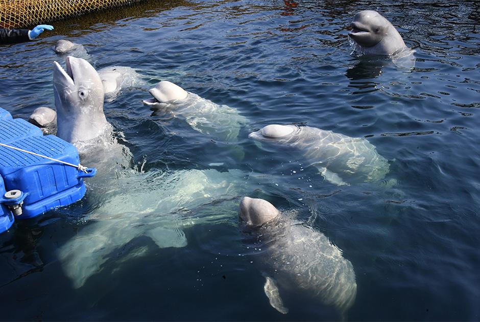 Белухи в вольере Центра адаптации морских животных в бухте Средняя