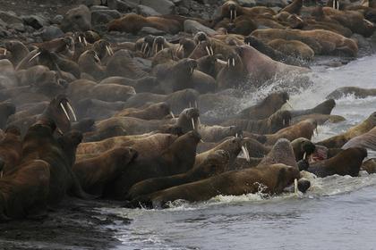 Туристов научат вести себя належбищах атлантических моржей