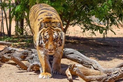 Неблагодарный тигр напал насвоего спасителя