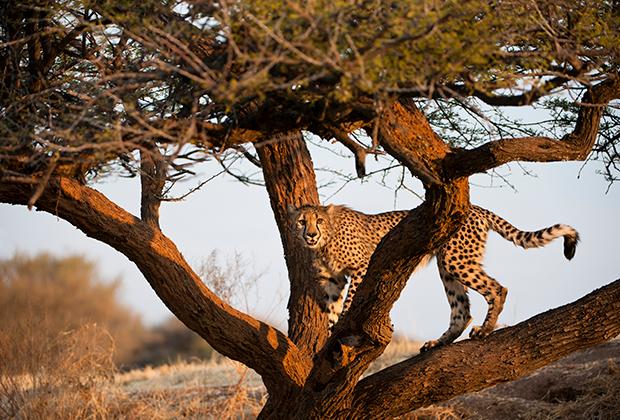 Главное, зачем едут в Намибию — сафари. Например, здесь можно встретить гепарда.