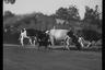 Коровы в пригороде Берген-оп-Зома. Нидерланды, 1944 год.