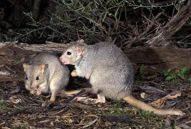 Представитель редкого вида короткомордых кенгуру прячется под полым бревном у реки Сигнет, Австралия. Кошки полностью истребили этот вид на территории материка
