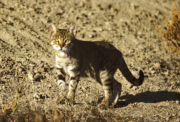 Дикая кошка на Западе Нового Южного Уэльса, Австралия