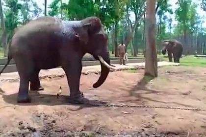 Смерть слона в неволе попала на видео
