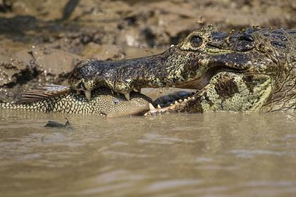 Голодный крокодил убил пастуха