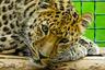 Прототипом «морды» «Леолета» стал реально существующий леопард, живущий в одном из зоопарков страны.