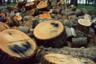 Александровский парк в Петергофе. Вырубка старого леса. Во время блокады Ленинграда деревянные усадьбы на Петергофской дороге были разобраны на дрова.
