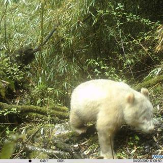 Панда-альбинос в дикой природе