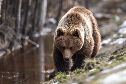 В Красноярском крае медведь зашел на детскую площадку и не захотел уходить