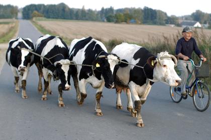 Сотни одичавших коров спасли от бойни