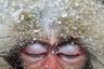 Этот портрет демонстрирует полное расслабление. Герой фотографии — такой же примат, как и все люди, — и зрители могут считать все мельчайшие черты на его морде, так сильно похожей на человеческое лицо. Его закатившиеся глаза под полупрозрачными веками наводят на мысли о сладких сновидениях. Снег, собравшийся на густом зимнем меху, растаял, превратившись в капли воды, и обезьяна безмятежно заснула перед фотографом, не боясь его. <br> <br> Дремлющий герой — молодая макака. В некоторых культурах это животное считалось священным посредником между людьми и богами. Сегодня это охраняемый вид, хотя его судьба неоднозначна: в некоторых уголках планеты его по-прежнему почитают, а в других преследуют как вредителя. Юный примат со снимка купается в бассейне с горячими источниками — обезьяньей «гидромассажной ванне» Дзигокудани в вулканических горах национального парка Дзесинъэцу Когэн на острове Хонсю. Макаки прибывают сюда каждую зиму со всей Японии, чтобы переждать холода и погреться. Эта традиция началась в 1960-х годах, когда смелая макака, увидев людей в бассейне, решила  также воспользоваться горячим источником, а затем привела к нему своих родственников. Сейчас обезьяны приходят сюда круглый год, так как их подкармливают люди.