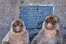Портрет двух друзей противоположного пола, отдыхающих после обеда. Они различаются по характеру: дама с роскошной бородой нахмурила брови, а мужчина философски глядит вдаль. Маготы, или берберские макаки, — единственный вид, который свободно живет в дикой природе в Европе на скалах Гибралтара. Вероятно, эти бесхвостые животные были впервые привезены туда в качестве домашних животных маврами, которые вторглись в Иберию. Когда большинство гибралтарских обезьян погибло во время эпидемии в 1900-х годах, из Северной Африки привезли новую популяцию.  <br> <br> Берберские макаки живут в сложном обществе. Самцы занимают доминирующую позицию из-за физической мощи, однако социальной властью обладают самки. Особую роль в жизни маготов занимает потомство: больше всего внимания им уделяют особи мужского пола. Предполагается, что самки настолько неразборчивы в связях, что самцы понятия не имеют, отцами каких именно детей они являются. Опыт показал, что самцам полезно быть милыми и заботливыми со всеми младенцами, ведь это может помочь им получить брачные привилегии.
