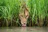 Автору удалось создать поразительно оригинальный портрет одного из самых фотографируемых африканских животных. Нарочито пронизывающий взгляд — классическая примета хищника. Но обрамленная пышной зеленью, героиня фото кажется случайно пойманной за обычным делом. Фотограф выследил львицу, сопроводил ее на ночную охоту и поймал за водопоем после поедания буйвола.
