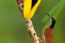 Самец райской птицы привлек внимание любовницы пением и демонстрацией своих грудных перьев и клюва. На фото — кульминация его представления: он танцует, завораживая самку своими длинными перьями. Танец нужно регулярно оттачивать, чтобы превзойти соперников. Любая самка может отказать в спаривании, если сочтет внешний вид самца недостаточно привлекательным.