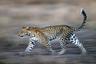 На большинстве портретов леопарды изображены лежащими, так как фотографы боятся приближаться к ним. Мало кому удается запечатлеть плавную грацию животных в движении. Снимок был сделан в 1990-е годы, поэтому художнику пришлось привлекать огромное количество специальной аппаратуры. Для создания этого кадра он направлял камеру вслед за леопардом, удерживая фокус на его глазах.