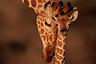 Это семейный портрет детеныша жирафа: ему всего несколько недель от роду, здесь его приветствует тетка. Родственница обнюхивает его и трется головой. Другие молодые жирафы также собрались вокруг, чтобы познакомиться с новорожденным. Окрас детеныша — более бледный, чем у взрослого, — поможет ему скрыться от львов. Именно хищники являются главной причиной детских смертей в стадах жирафов. <br> <br> Жирафы рожают детенышей стоя. Пережив падение с высоты, новорожденный встает на ноги через полчаса. Будучи уже 1,8 метра ростом, он удвоит свою высоту всего за год и продолжит расти до четырех лет. Как и слоны, жирафы используют  для общения инфразвук (низкоуровневый сигнал), отслеживая друг друга на больших расстояниях и ночью.