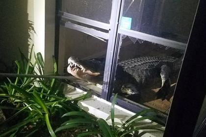 Трехметровый аллигатор выбил окно и ворвался в дом