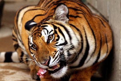 Работник зоопарка лишился рук при попытке искупать тигра