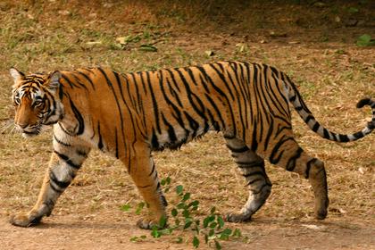 Верный пес спас хозяина от тигра