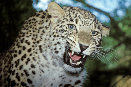 Леопард растерзал двухлетнего ребенка в национальном парке