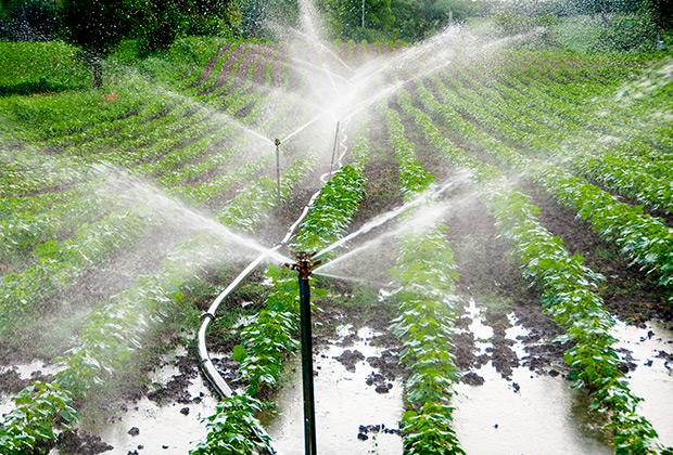 Даже в США далеко не все хозяйства используют капельное орошение. Например, на этой плантации в Индии воду льют настоящими реками.
