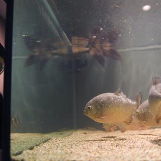 Piranha-filled fish tank