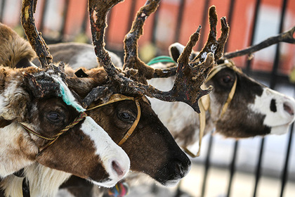 На Ямале взбунтовались против вакцинации оленей от сибирской язвы