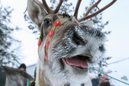 Жители Норильска спасли увязшего по шею в снегу северного оленя