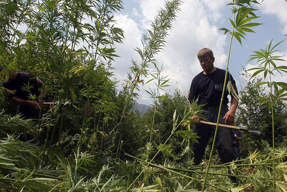 Албанский полицейский уничтожает плантацию каннабиса