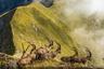 Стадо горных козлов пересекает хребет над озером Бриенц в Швейцарии. Козероги —настоящие короли Альп, идеально приспособленные для жизни на высоте. Фотографу пришлось несколько часов наблюдать за склонами гор, прежде чем он заметил несколько животных на вершине хребта.