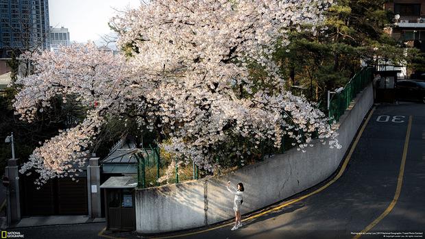 Фотография вишневого дерева была сделана Лестером Лау во время отпуска в Сеуле. Фотограф старался показать, как деревья отступают под натиском человека и оказываются буквально зажатыми бетоном.
