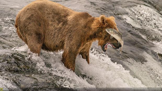 Во время нереста лосося на Аляске медведи гризли приходят на водопады Брукс в надежде поживиться. Но далеко не с первого раза им удается поймать полную икры рыбу. Тэйлор Олбрайт поймал момент, когда в прыжке лосось ударил хвостом медведя по носу.