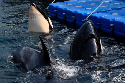 Выловившую косаток для «китовой тюрьмы» фирму оштрафовали на 56 миллионов рублей