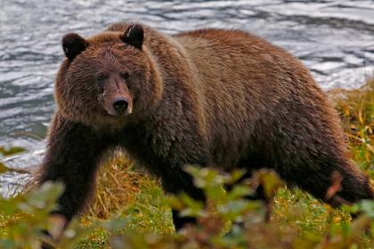 Медведь схватил заснувшего в машине американца