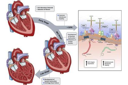 Найден способ избежать преждевременного отказа сердца