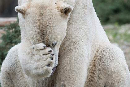Замеченный в Норильске худой белый медведь встревожил россиян